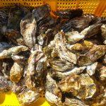 島の漁師の方からの頂き物(牡蠣)