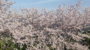 庭の桜満開