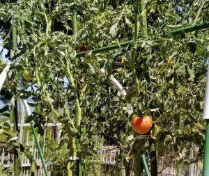 名残惜しむトマト