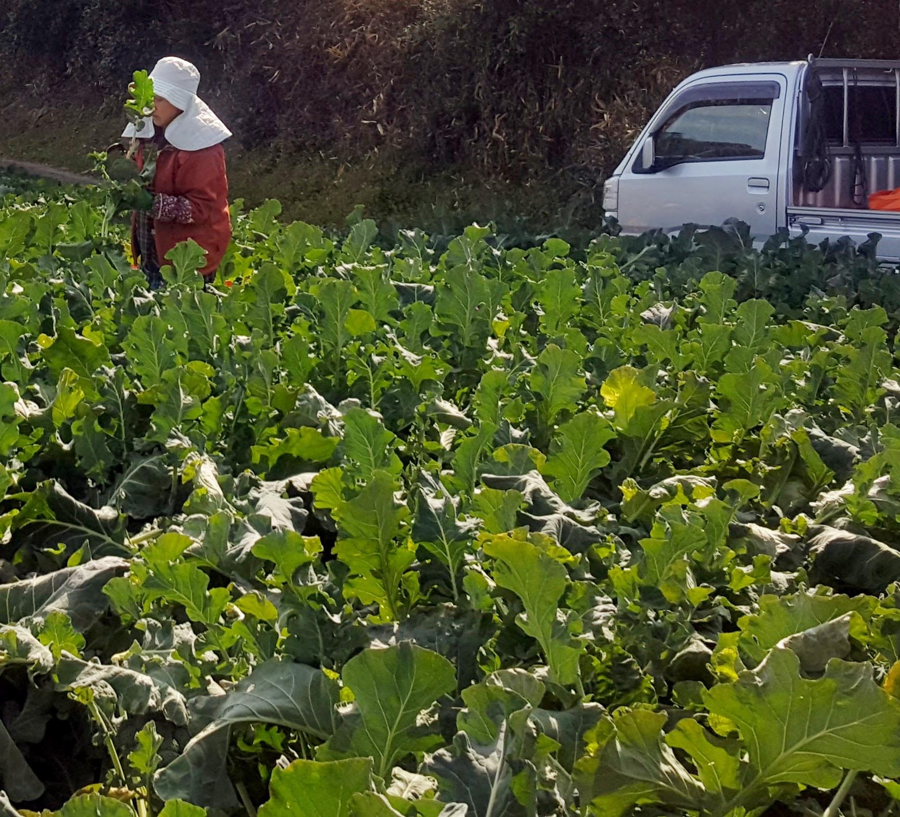 20160211_ブロッコリ収穫