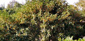fragrant olive