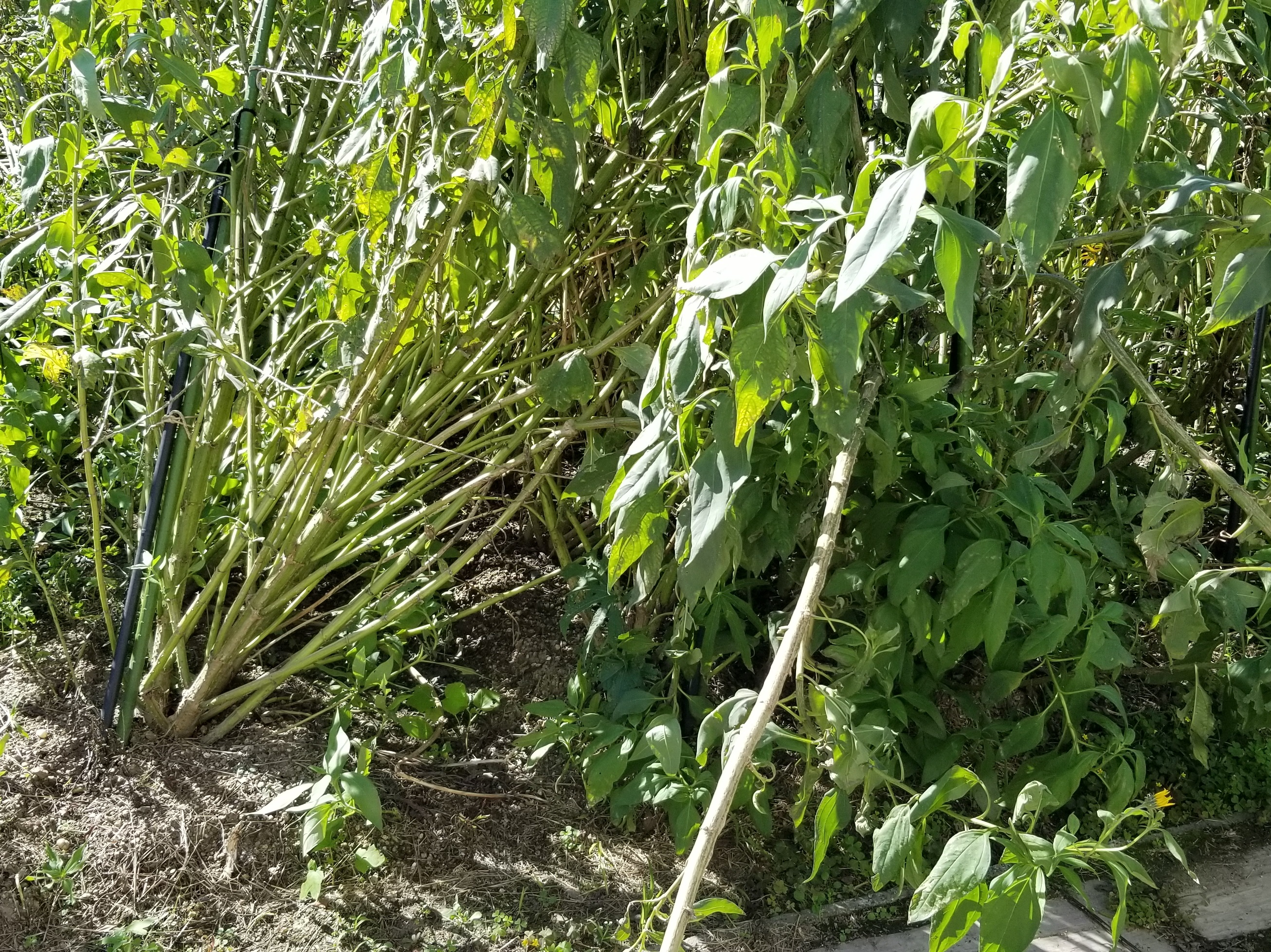 Helianthus tuberosus_b20181006