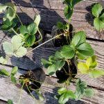 Strawberry-seedlings_20190213_102112 (800x611)