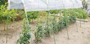 tomato_20190529_120949 (800x389)