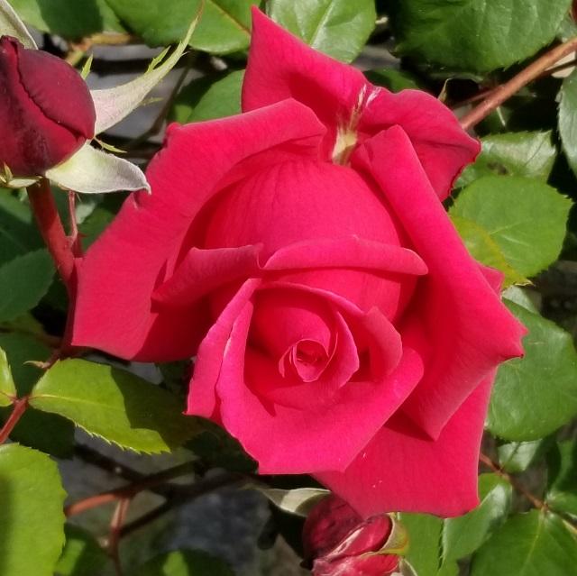 rose_20190510_081846 (640x639)