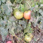 tomato_20190723_181422 (800x545)