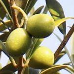 olive_IMG_1922 (277x273)