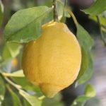 lemon_IMG_2084 (640x640)