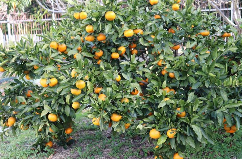 orange_IMG_2080 (800x526)