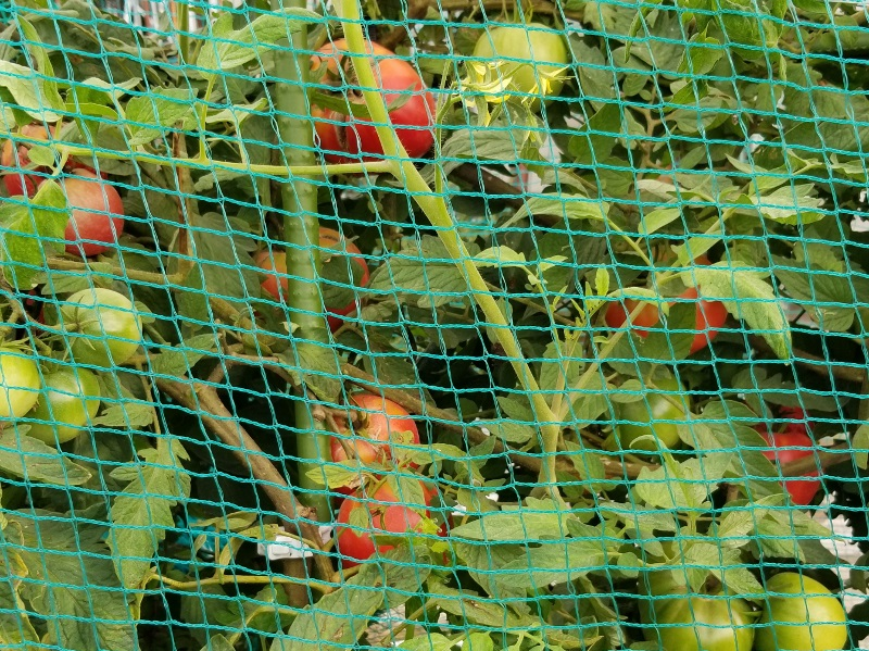 tomato_20200803_070538 (800x599)